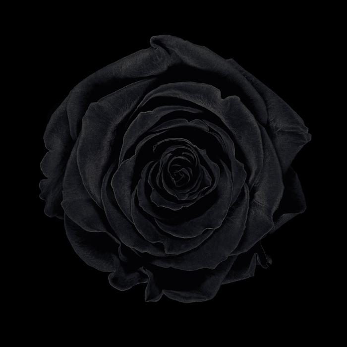 jean-baptiste huynh monochrome rose noire