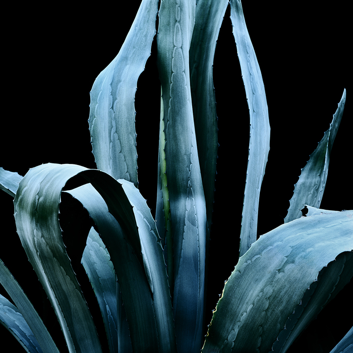 thomas balay agave americana