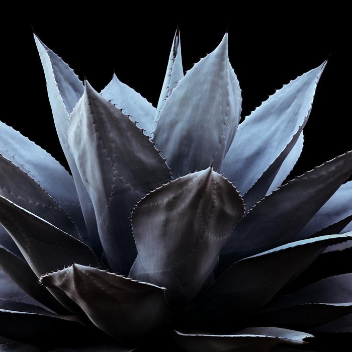 thomas balay agave ovatifolia