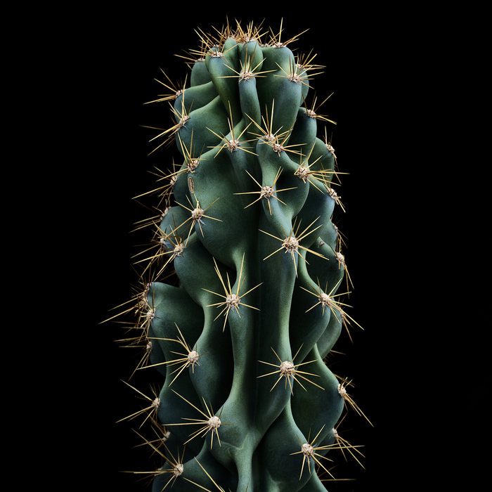 thomas balay cereus peruvianus
