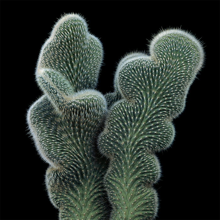 thomas balay cleistocactus