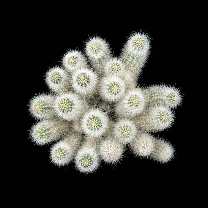 thomas balay echinocereus nivosus