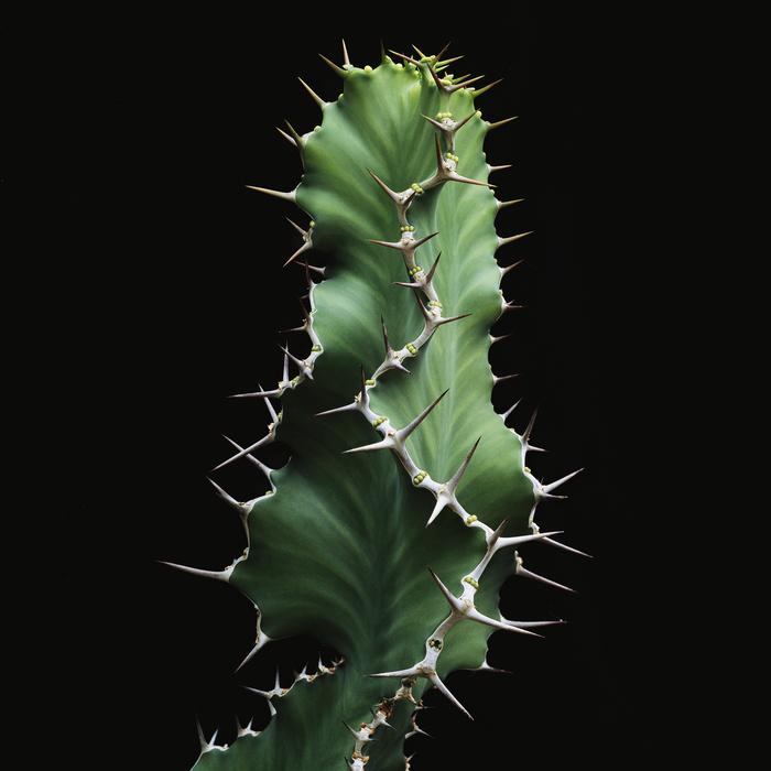 thomas balay euphorbia cactus